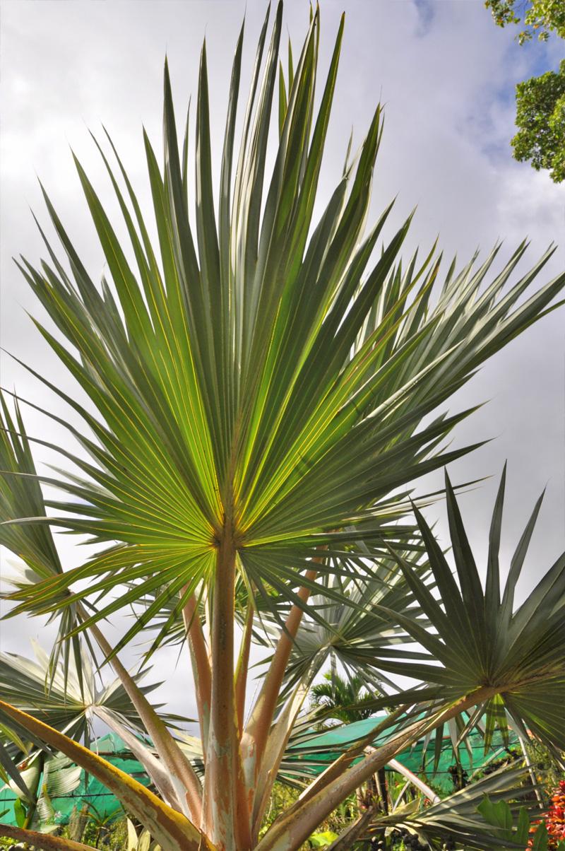 palmier2.jpg