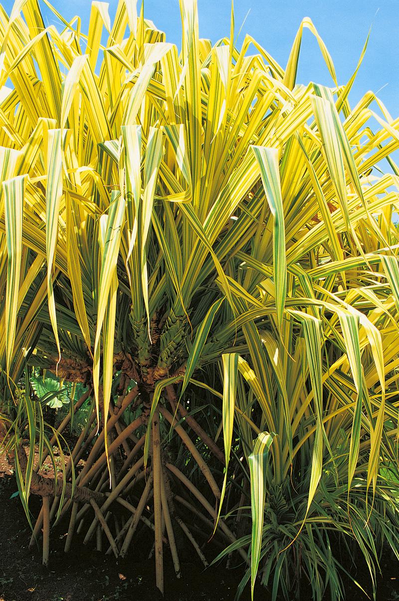 palmier4.jpg