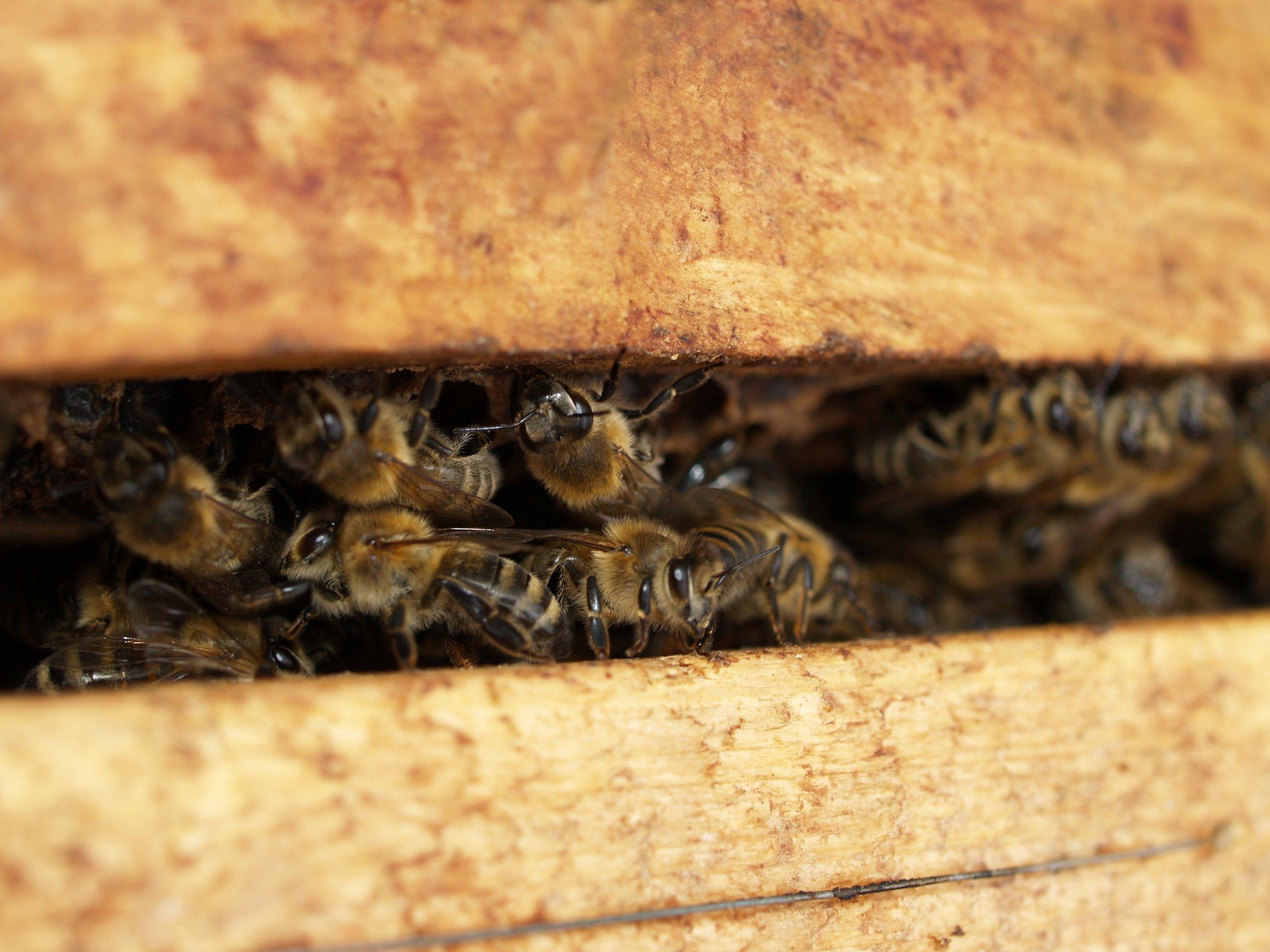 bee-bees-close-up-702931.jpg