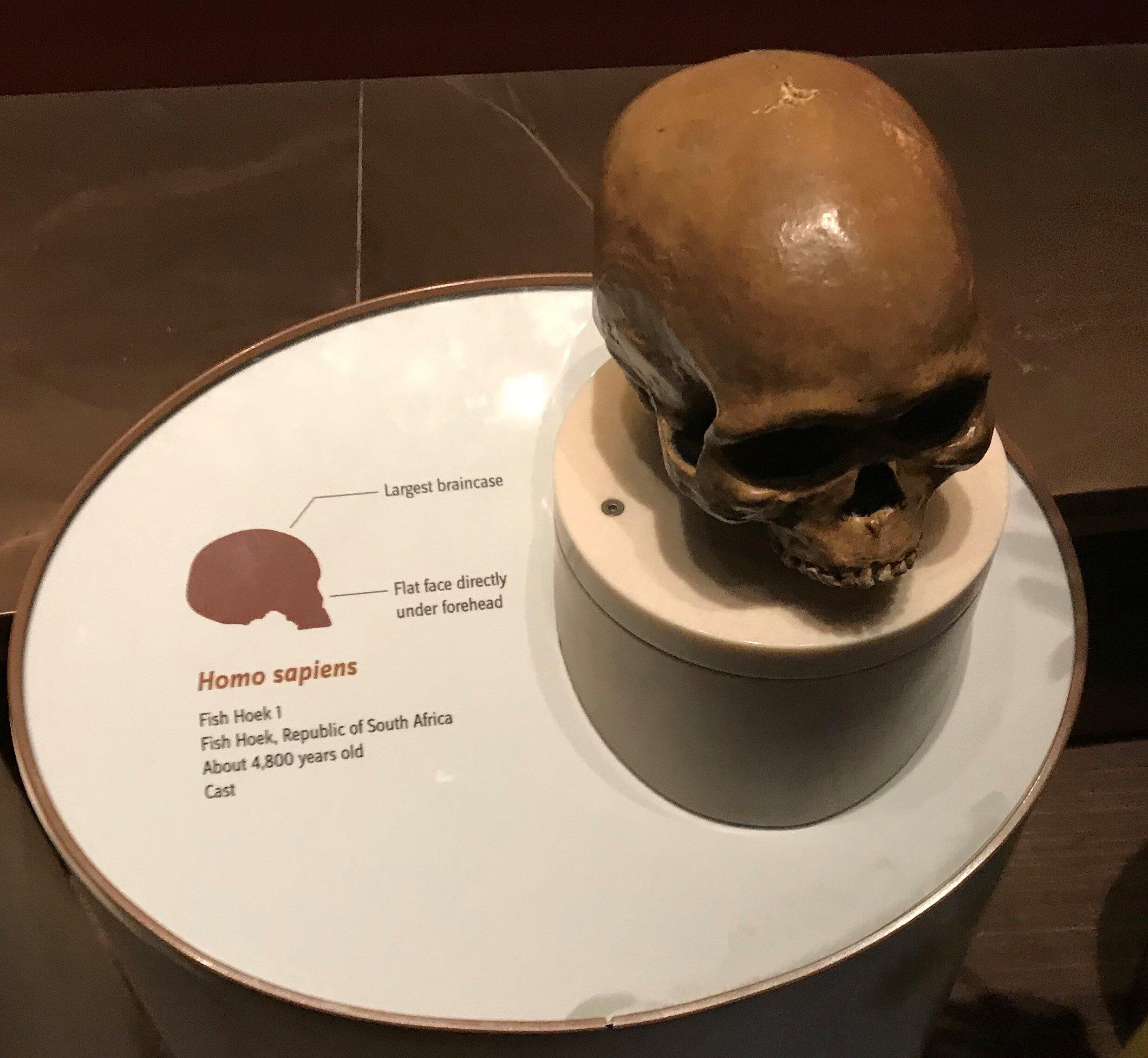 Homo sapien skull, Smithsonian Natural History Museum , Washington D.C (K. F. Long)