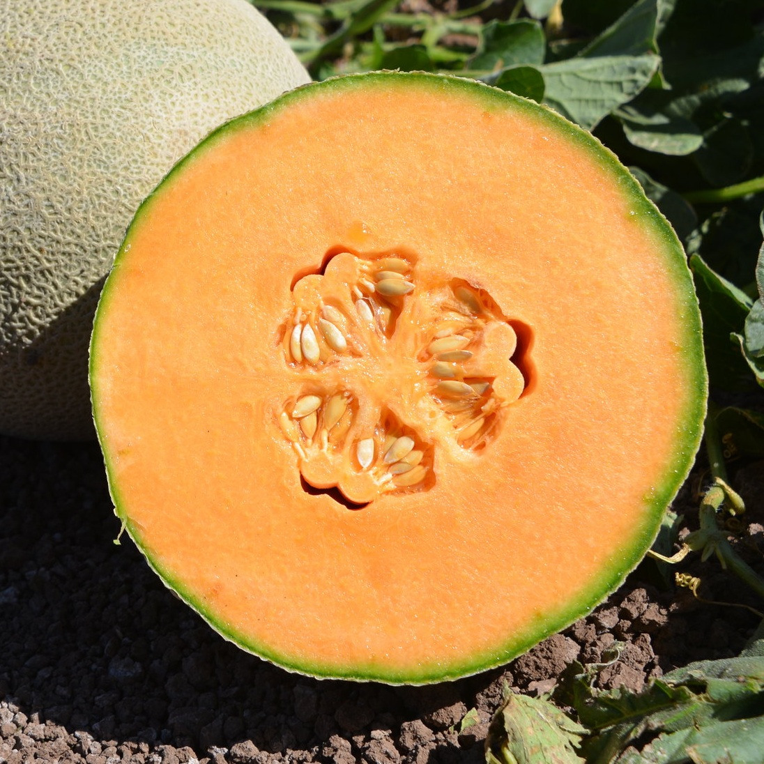 Melon -