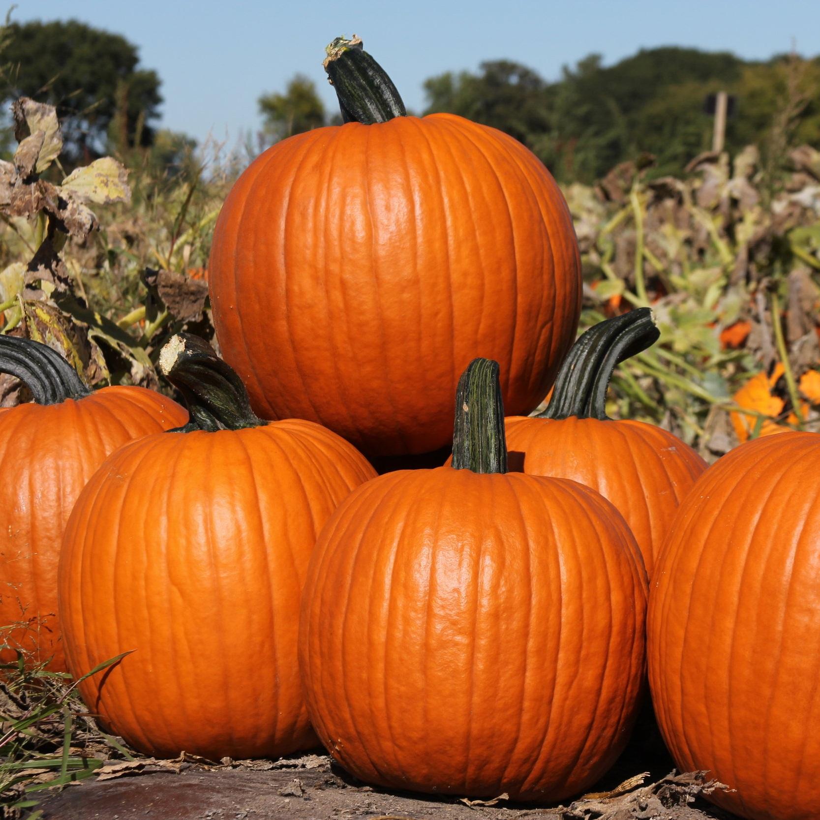 Pumpkin -