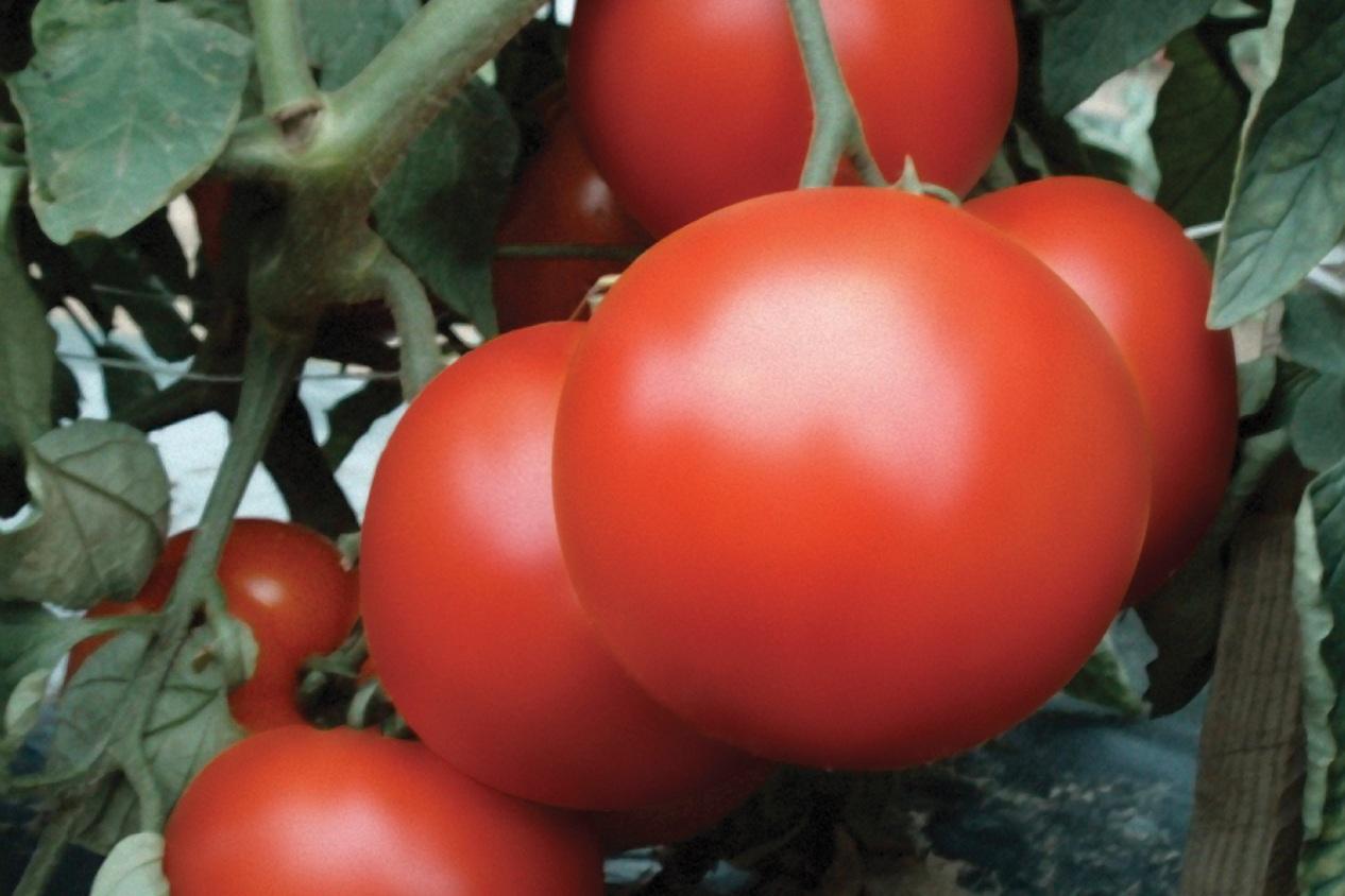UNKN_2007_Photo-HD_Tomato_PrimoRed-Hmx7838.jpg