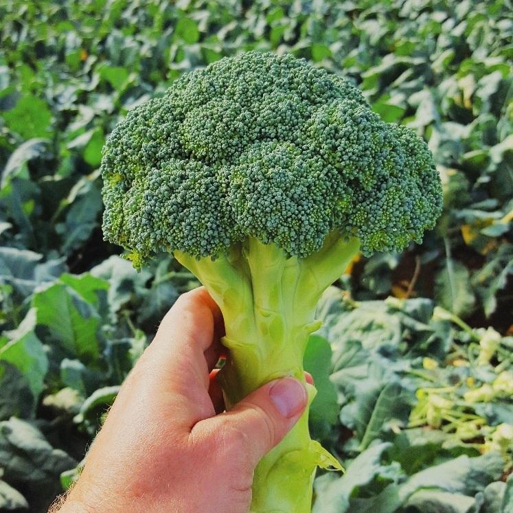 Brassica -