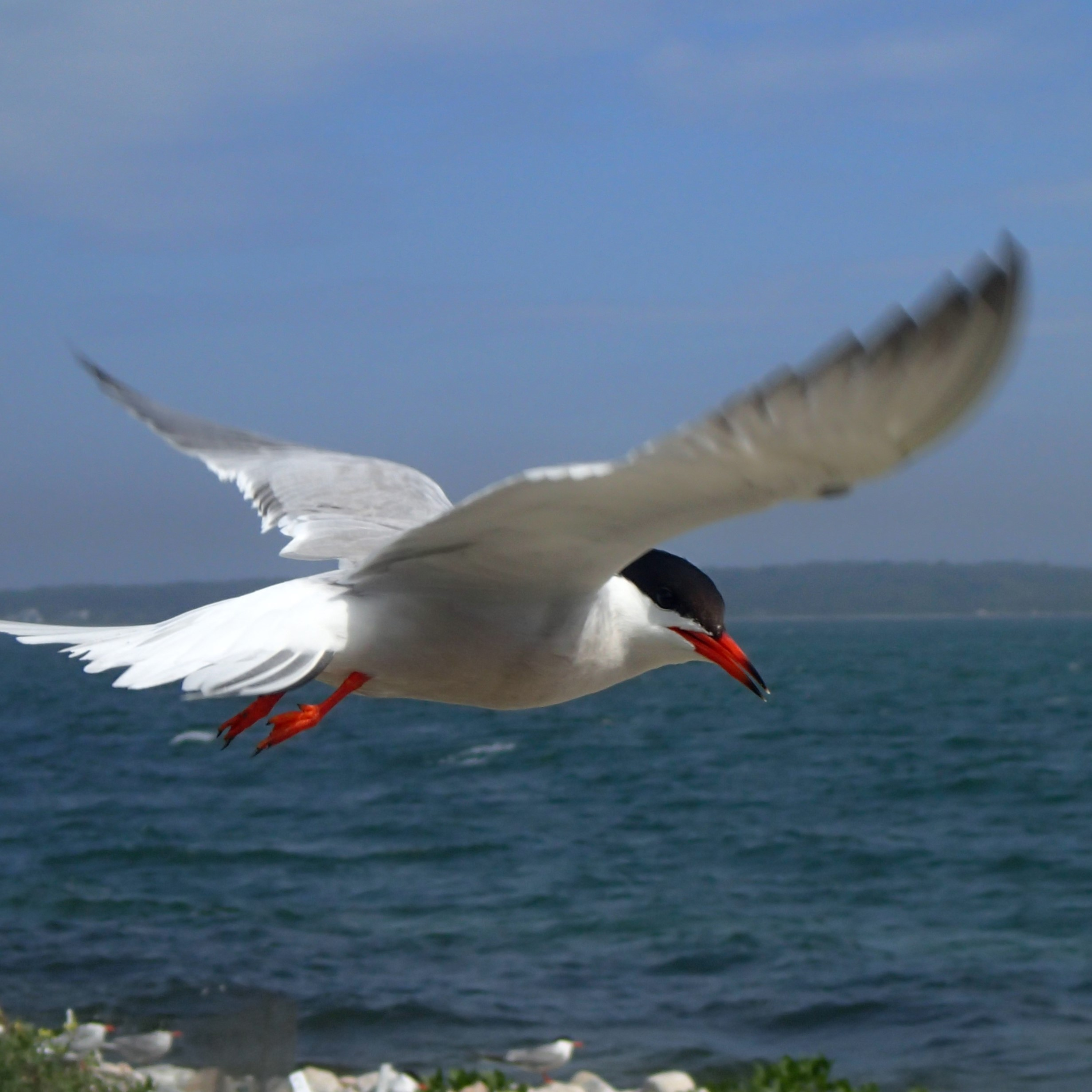 The Common Tern is a familiar seabird but is listed as a Species of Special Concern in Massachusetts. These graceful, yet aggressive, birds viciously defend their nests and colony against any and all intruders. Entering a tern colony can be compared to swatting a hornet's nest.