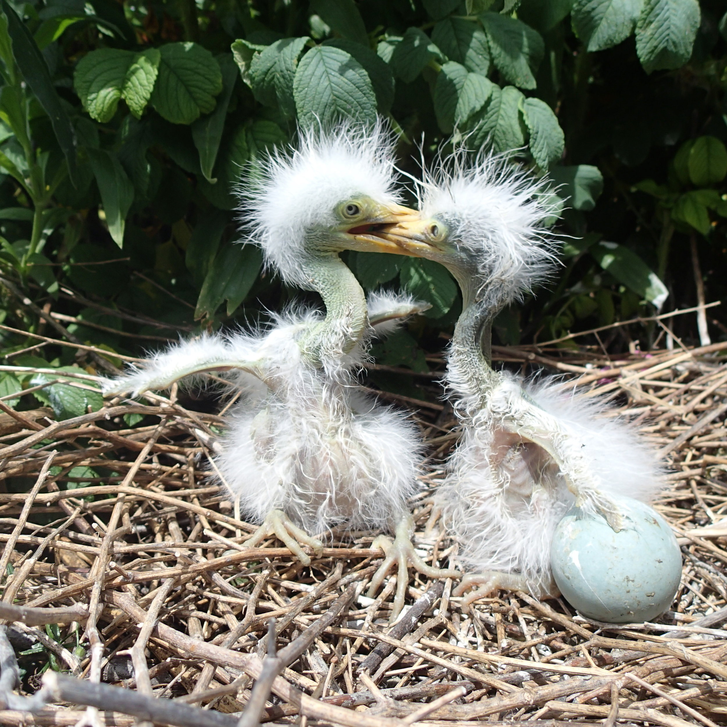 Looking like two dropouts from the Phyllis Diller Beauty Academy, a Great Egret chick tries to establish the pecking order over its nest mate