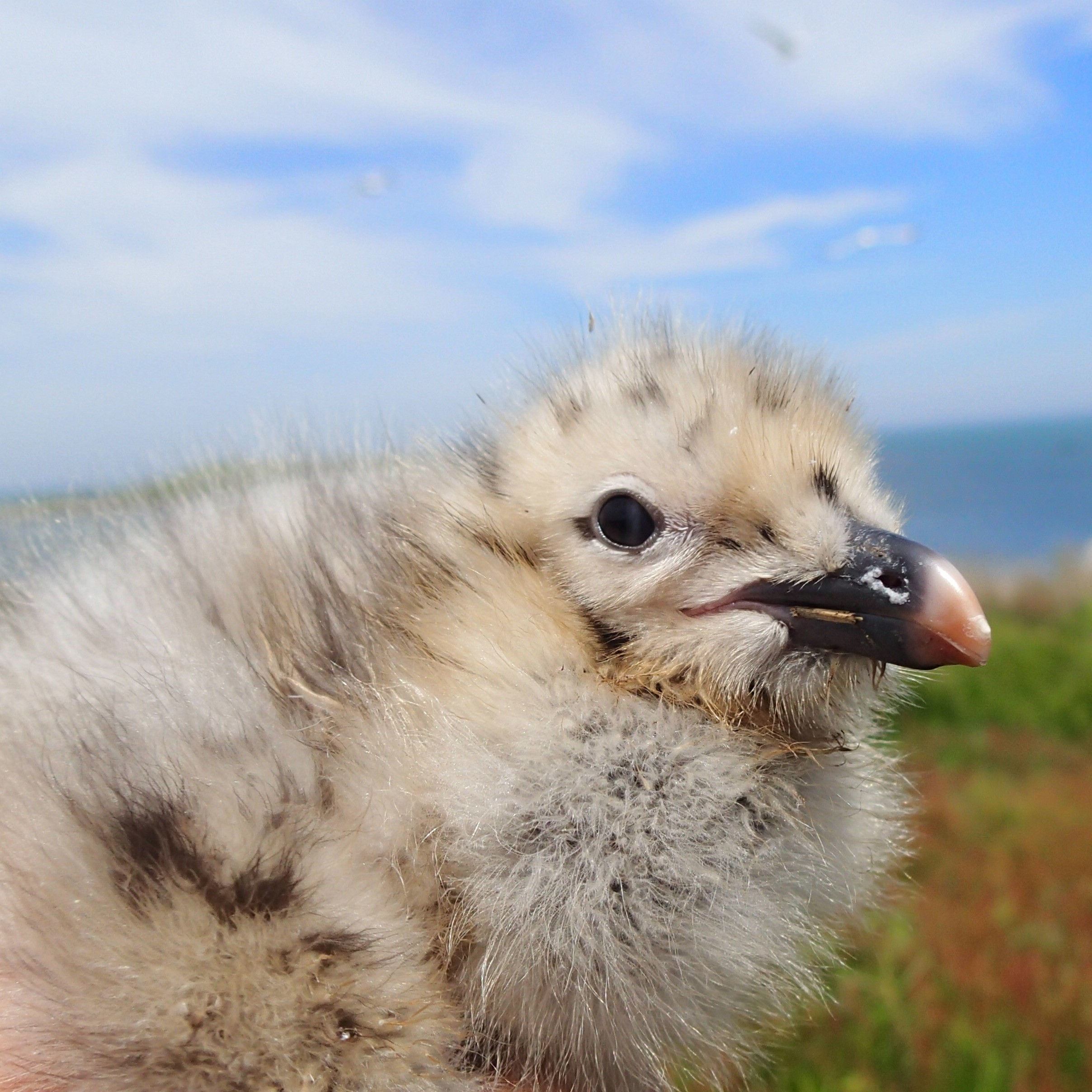 A Herring Gull chick. Both Herring Gull and Black Back chicks resemble puff balls when dry after hatching.