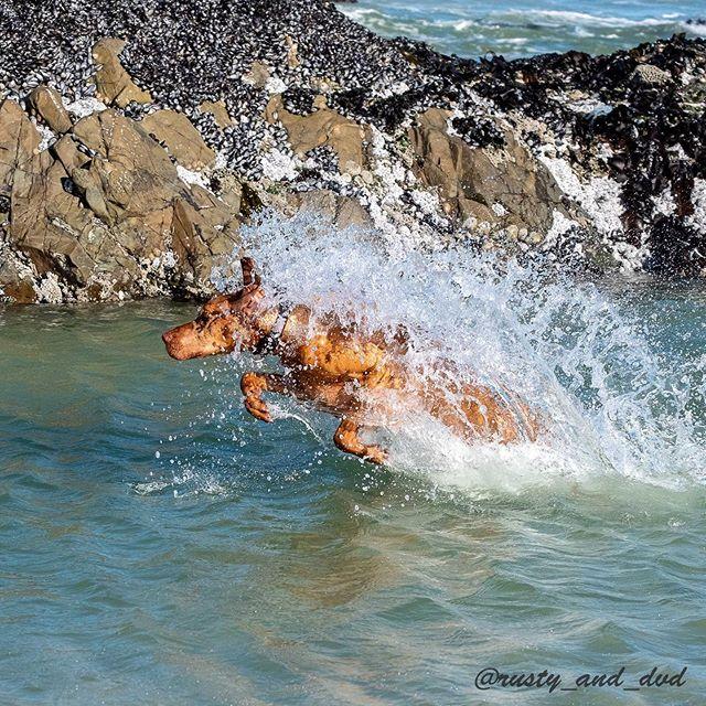 I's a big scary water dragon 🐉 . 🔥 I's does breathe ginger spice fire ... so watch out🔥🔥🔥🔥 Mum says my's dragon breath smells like 💩 . ©️ images not for use ⚠️⚠️⚠️ . #vizslapuppy #hungarianvizsla #wetdog #wetdogwednesday #beachdog #gingerninja #vizslasofinstagram #dogmodel #dog #dogsofinstagram #birddog  #vizsla