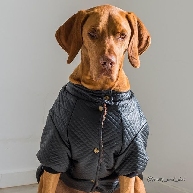 Restin butch face . Services offered: scarin hoomins away by sniffing theirs crotches. 🙈 . So mum has no friends visitin anymore 🤯 . Happy #sundayfundaypals . ©️ images not for use ⚠️⚠️⚠️ . #vizsla #hungarianvizsla #gingerninja #butchdog #dogsofsouthafrica #dogsofcapetown #ilovemydog #dogsofinsta #dog #dogmodel #birddog #dogjacket #vizslasofinstagram