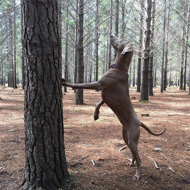 Squirrel bootcamp 🐿 . Can't have lazy complacent squirrels now can we 🐿 . ©️ images not for use ⚠️⚠️⚠️ . #dogsofsouthafrica #weim #weimaraner #weimaranerpuppy #weimaranersofinstagram #birddog #dogsofinstagram #dogstagram #hundeliebe #tokaiforest #dogmodel #greyghost