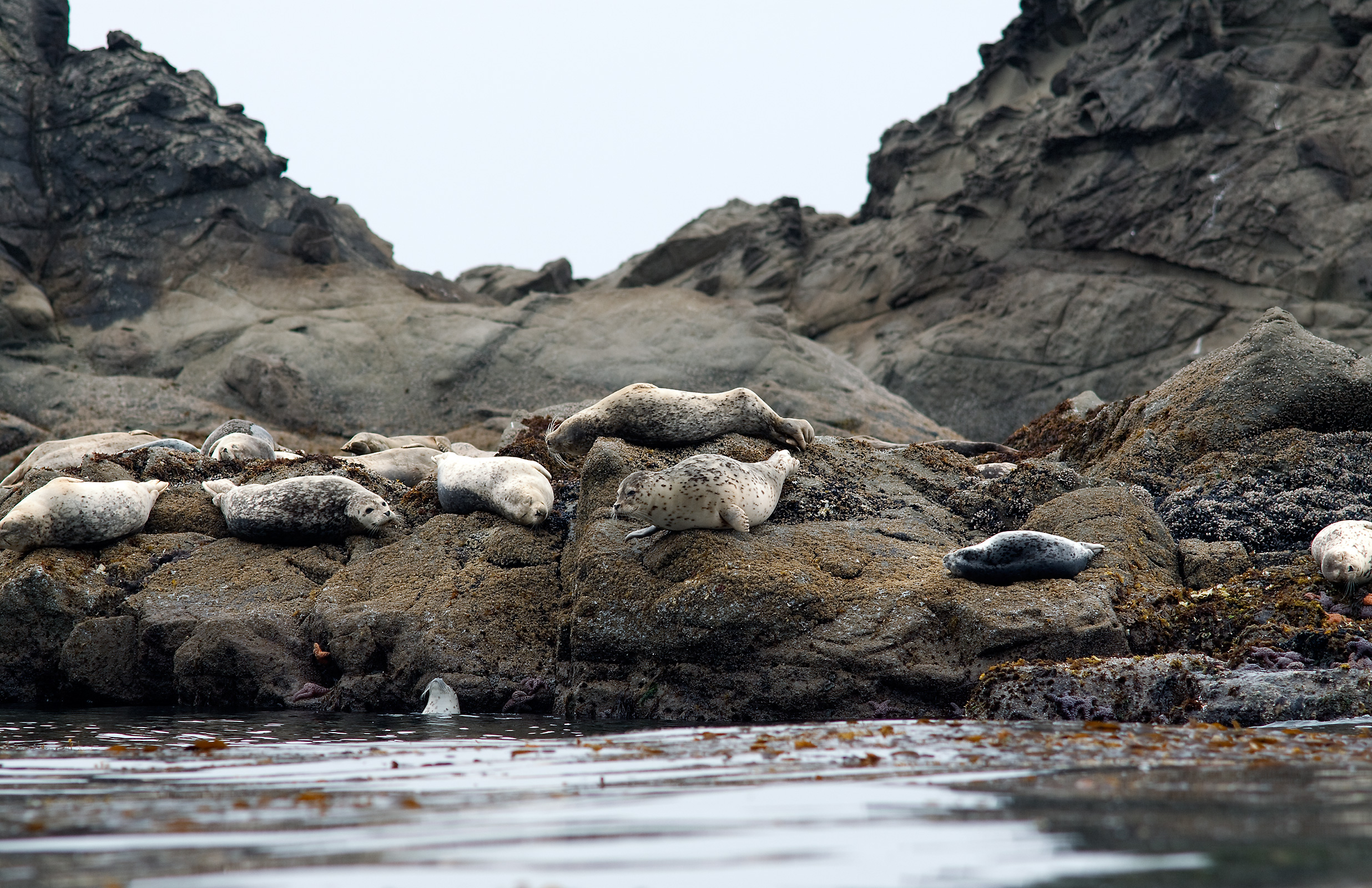 2010-La-Push-Harbor-Seals01.jpg
