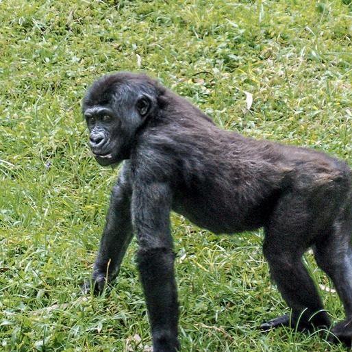 La diminution rapide du nombre de gorilles des plaines orientales a affaibli le patrimoine génétique de l'espèce - Nouvelles de l'environnement https://buff.ly/2tDaACr