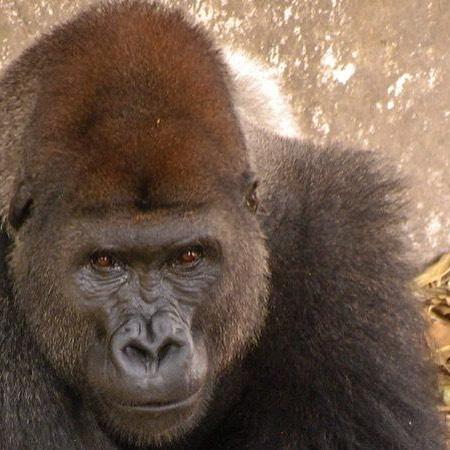 Une étude révèle que les gorilles s'adaptent mieux que les chimpanzés aux forêts exploitées - Nouvelles de l'environnement https://buff.ly/2E300KS.