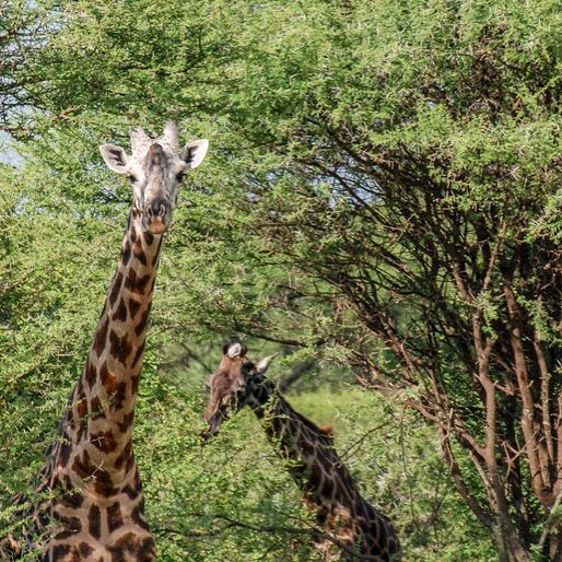 Proximity to towns stretches giraffe home ranges https://buff.ly/2H4FvAk. Read more at mongabay.com (link in profile).
