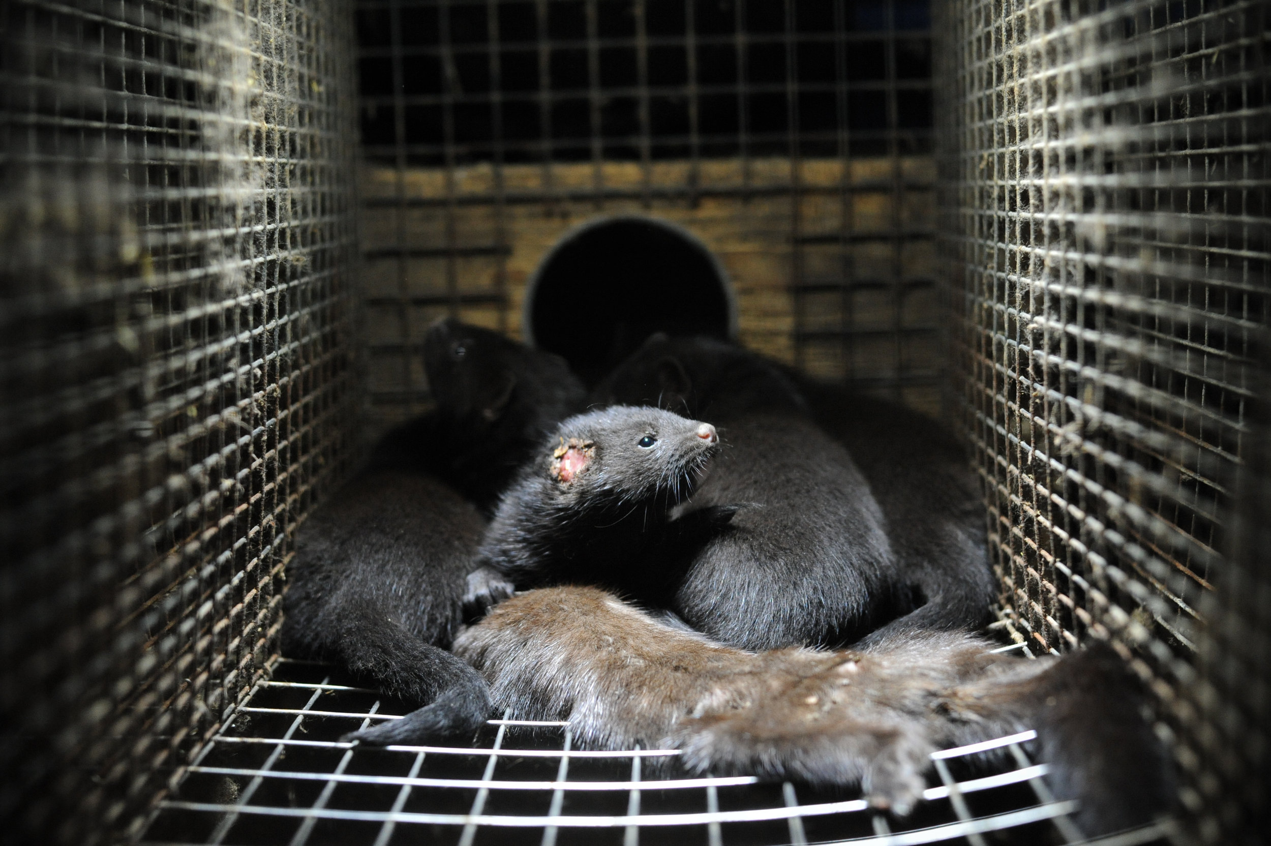 Injured mink kits with their dead mother on a fur farm in Europe. ©Jo-Anne McArthur/WeAnimals