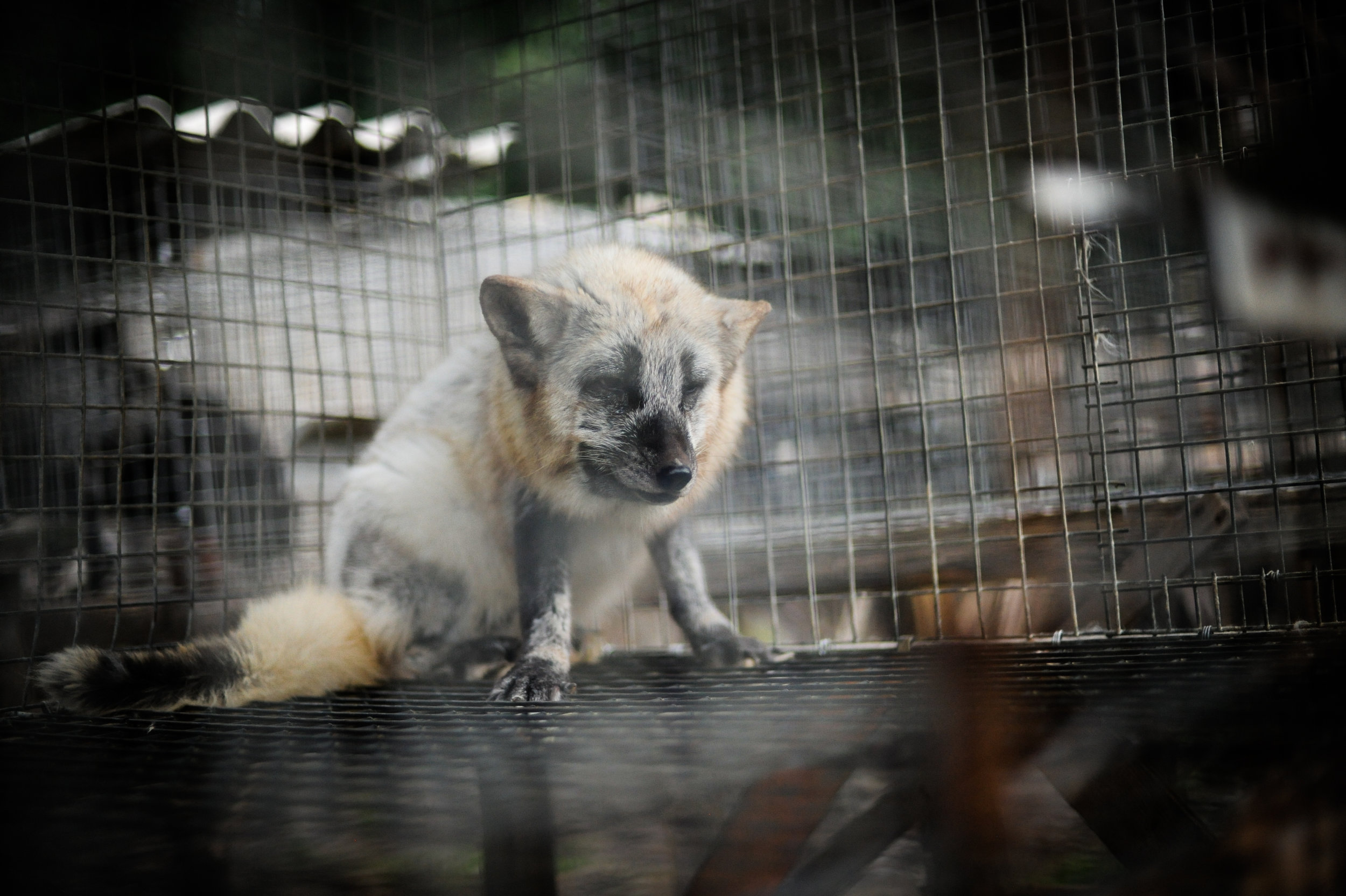 A fox on a fur farm in a wire cage. ©Jo-Anne McArthur/WeAnimals