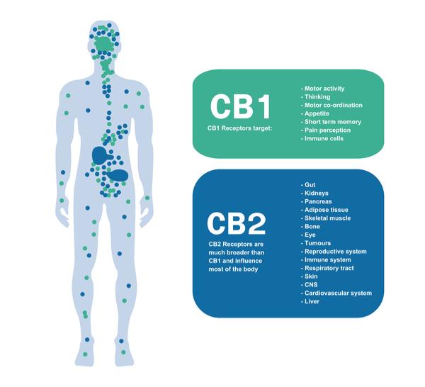 Cannabinoid Image by shutterstock