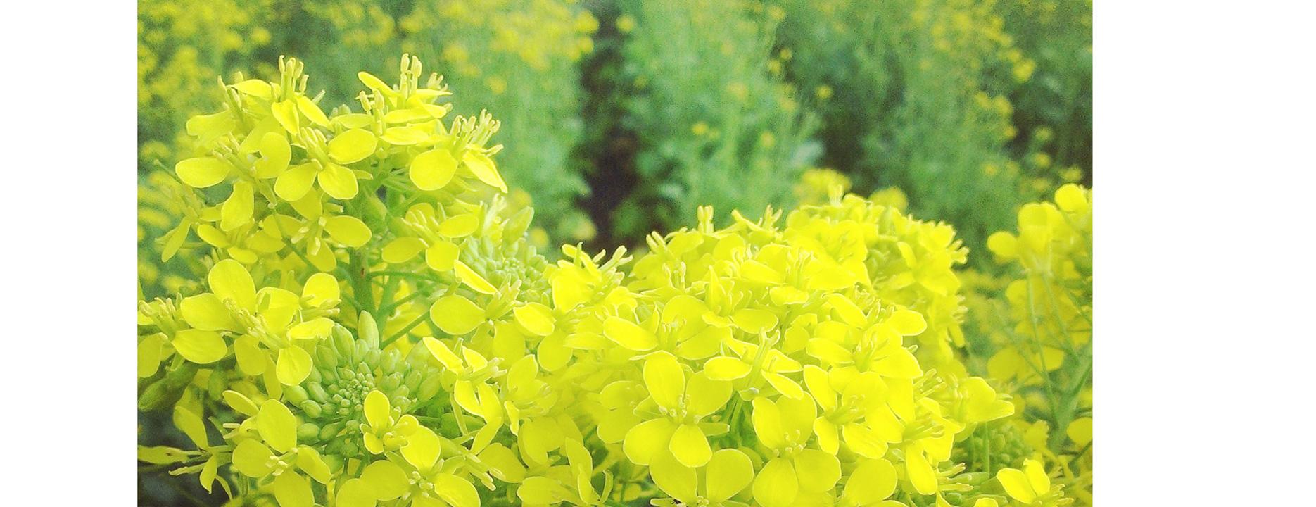 mustard-smaller-7-cropped-L.jpg