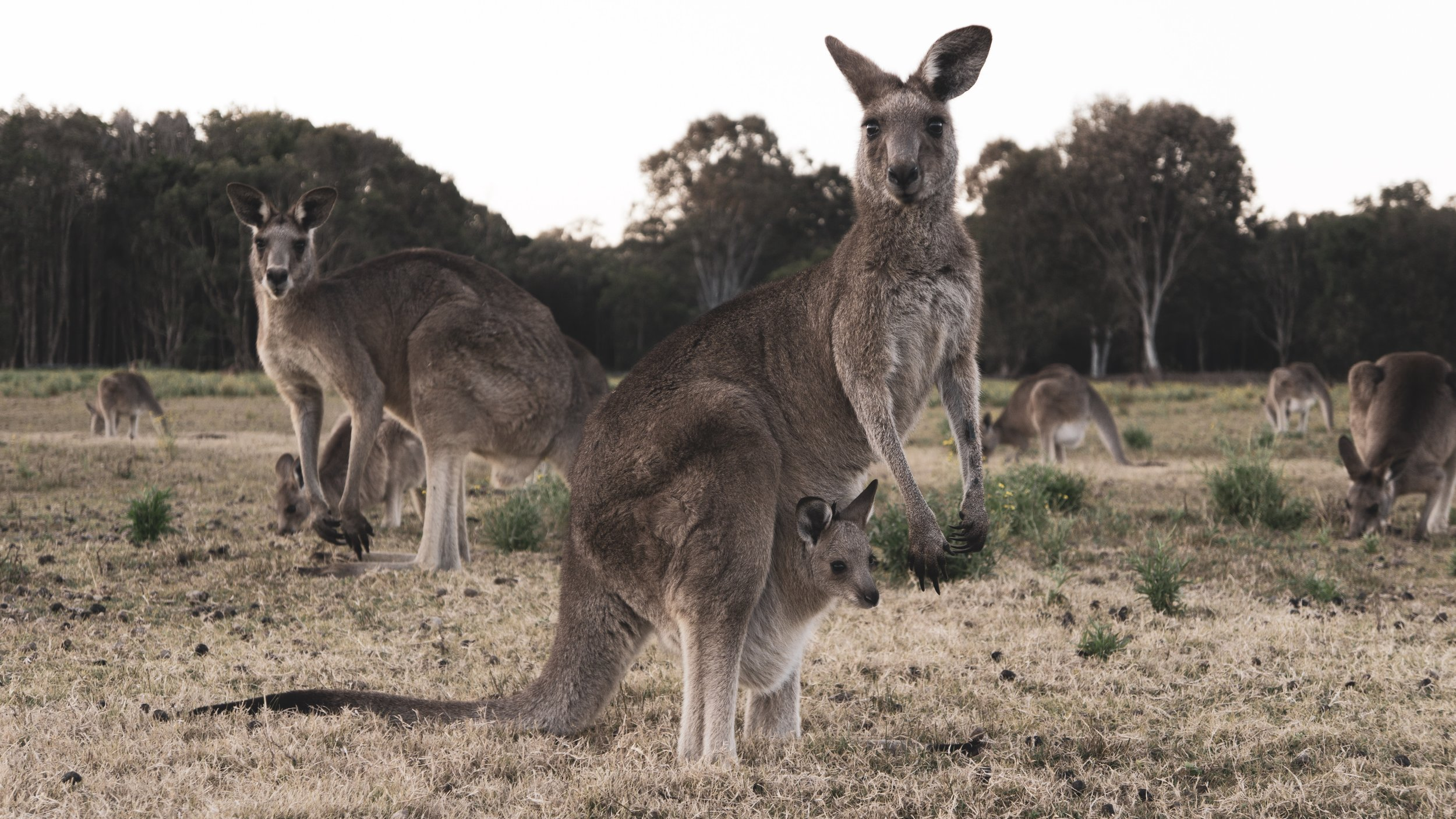 Kangaroos, Australia - What it was like: Wildlife Research Volunteer Project