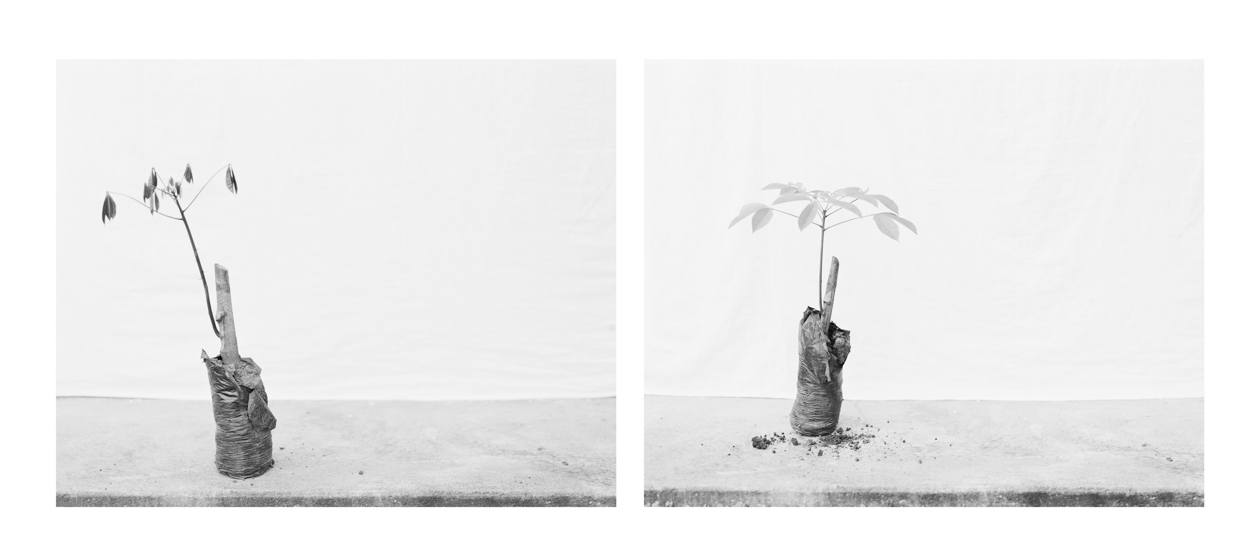 Hevea brasiliensis , rubber tree graft in plastic bag No. 1 & No. 2, April, 2014, Michelin Rubber Plantation, Bahia, Brazil. 2014/2018
