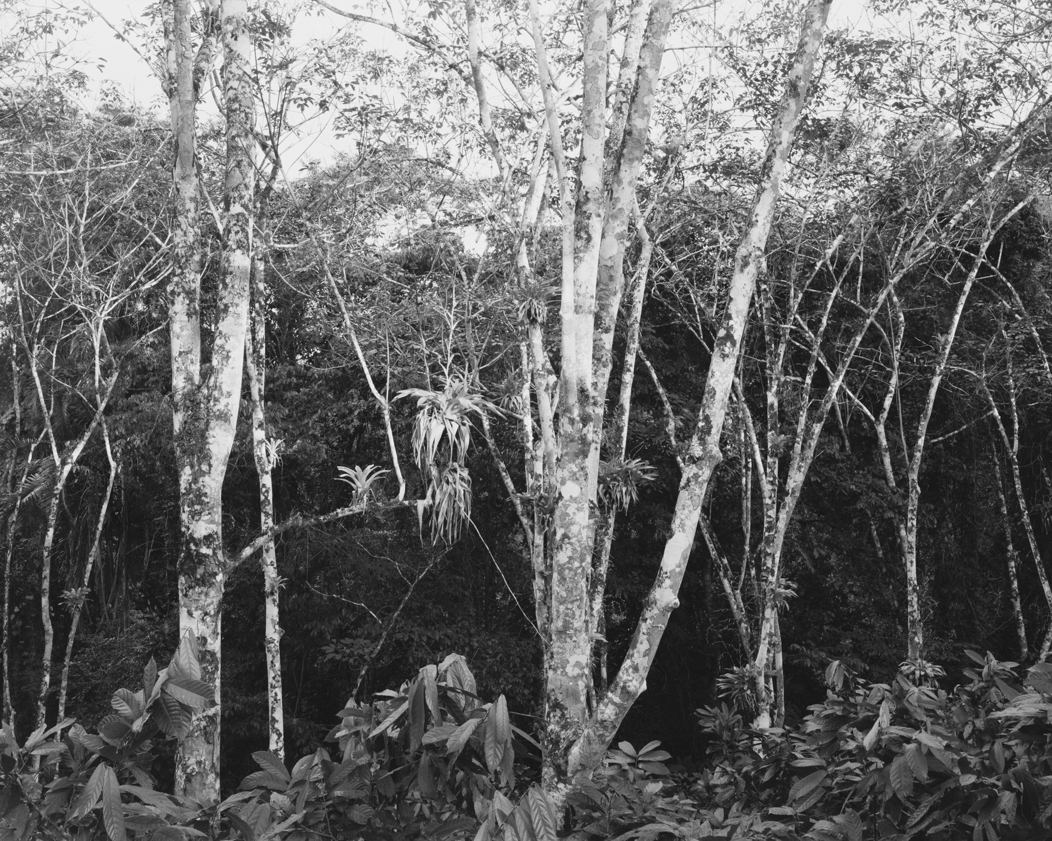 Atlantic Forest No. 1 (rubber trees with epiphytes), May, 2014, Bahia, Brazil. 2014/2018