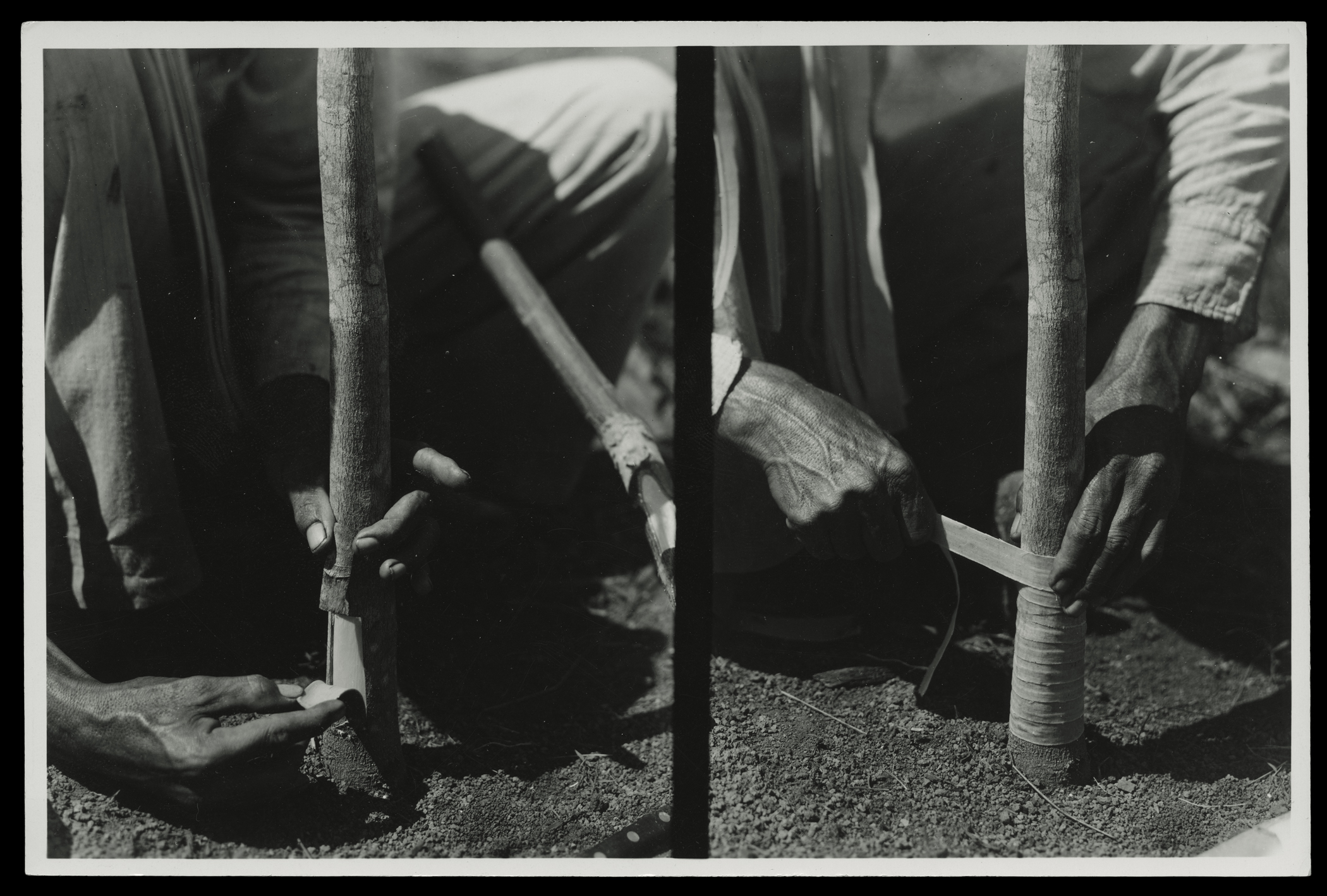 "(research image) ""Two Views of Budding Operations,"" Fordlandia, Brazil (undated). Typed on verso: ""Two views of budding operations."" 4.5 x 6"" gelatin silver fiber print. Creator: Companhia Ford Industrial Do Brasil Ford Motor Company. From the Collections of The Henry Ford."
