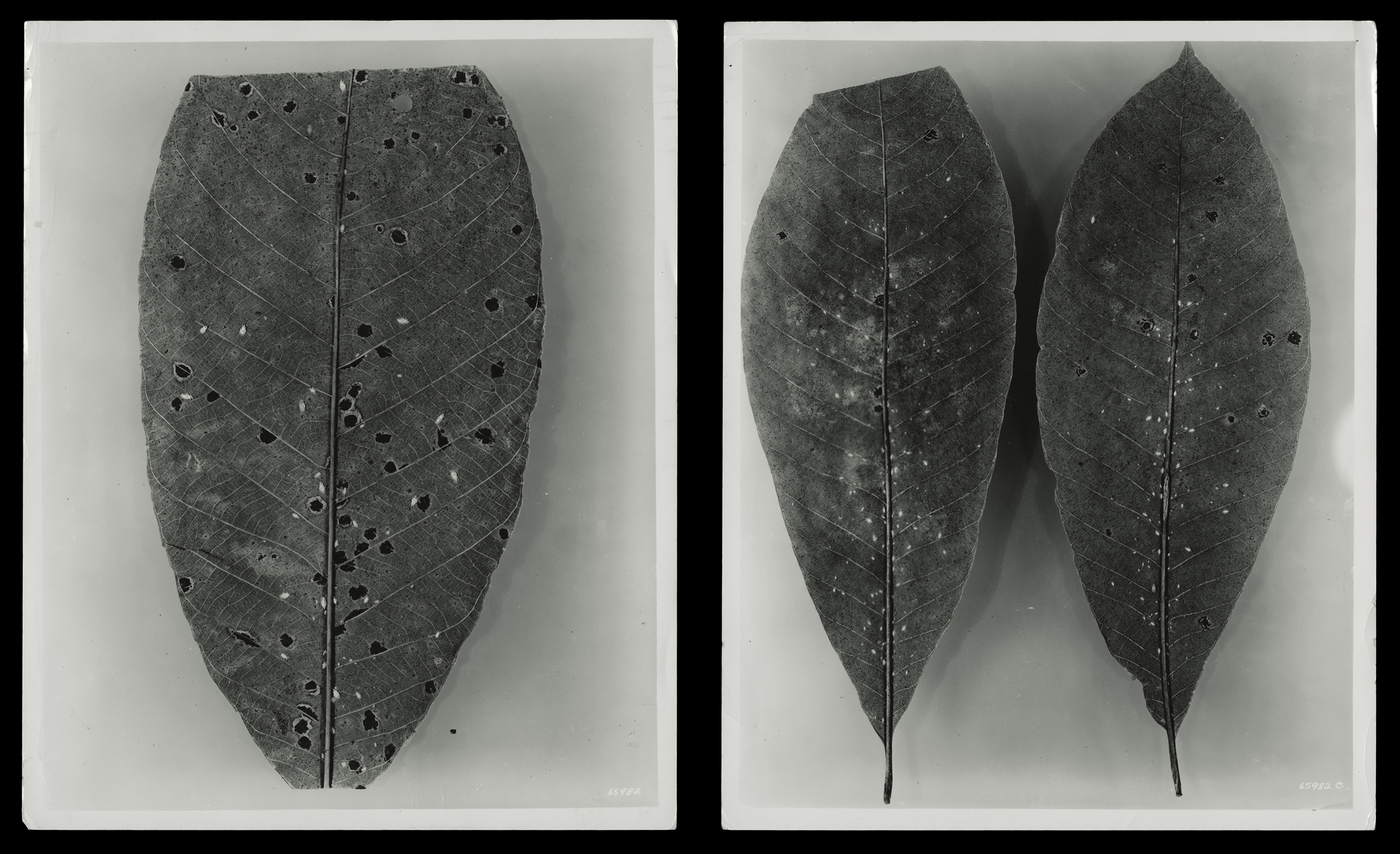 """(research image) """"Diseased Rubber Plant,"""" Fordlandia, Brazil, April 1936. (2) 8 x 10"""" gelatin silver fiber print. Creator: Companhia Ford Industrial Do Brasil Ford Motor Company. From the Collections of The Henry Ford"""
