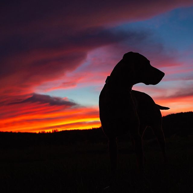WOW. . . . . #thatdogwill #puppyportrait #uplanddog #flyingv #viszlasofinstagram #exploretocreate #becurious #backcountrypaws #newtoy  #ourwildlife #bewildandfree #adventurepaws #cuteboys #liveoffleash #reddog #overlandhound #puppyfever #sunsetsandpuppies #sunset #autumn
