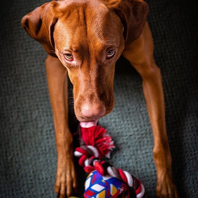 Guess turned ✌🏻today... . . . . #thatdogwill #puppyportrait #uplanddog #flyingv #itsmybirthday #exploretocreate #becurious #backcountrypaws #newtoy  #ourwildlife #bewildandfree #adventurepaws #cuteboys #liveoffleash #reddog #overlandhound #puppyfever #birthdayboy