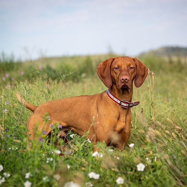 "I'm handsome. I know it. Mom knows it. She hates that I know it. Though everyone we meet still says, ""She is such a pretty dog!"" . #thatdogwill #puppyportrait #uplanddog #fielddog #exploretocreate #becurious #backcountrypaws #jeepdog  #ourwildlife #bewildandfree #discoversouthdakota  #visitsouthdakota #southdakotalife #liveoffleash #liveoutdoors #overlandhound #sportdogbrand"