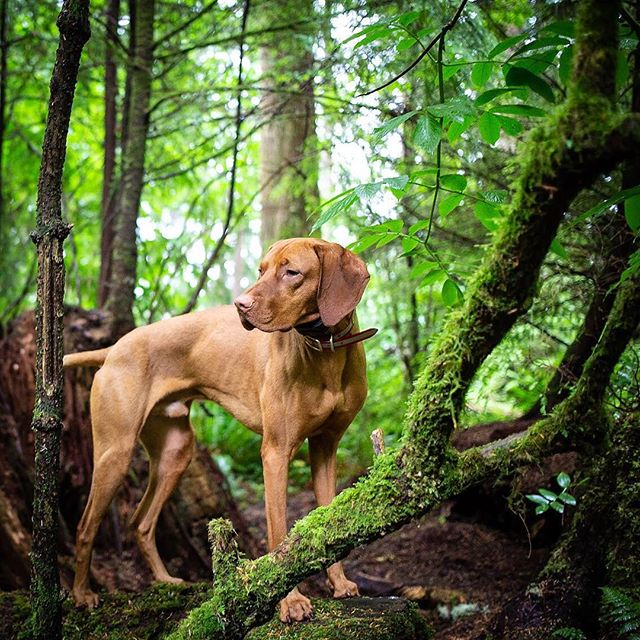 Dear Mom... I want to go back. . . . #thatdogwill #puppyportrait #uplanddog #flyingv #fielddog #exploretocreate #becurious #backcountrypaws #jeepdog  #ourwildlife #bewildandfree #adventurepaws  #rainforest #pnwonderland #liveoffleash #liveoutdoors #overlandhound #tbt #throwbackthursday