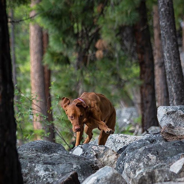 That time I did a little rock hopping on the shores of Lake Como, Montana. - #bebrave #cancersucks #rockhopping #lakecomo #visitmontana #overlandbound #untrodden #jeepdog #overlandhound #outfitandexplore #vizsla #vizslalove #vizslalovers #vizslalife #letsdothis #pointer #sportdog #sportDOGbrand #liveoffleash #dogslifestyle #thatdogwill