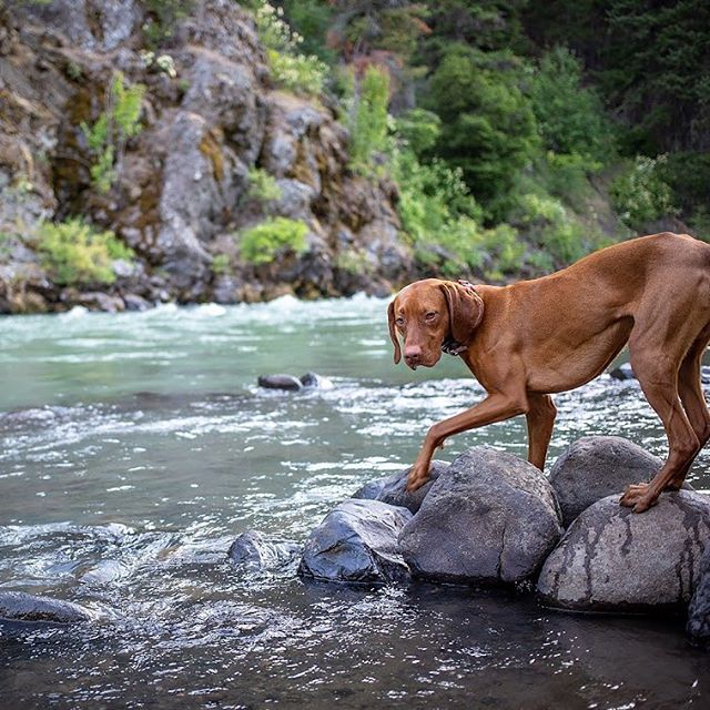 Dare me to do it... I will mom... oh I will. . . . #thatdogwill #rockhopping #thewateriscold #pnwpups #exploretocreate #becurious #backcountrypaws #jeepdog  #ourwildlife #bewildandfree #discoverwashington #visitpnw #mountrainier #liveoffleash #liveoutdoors #overlandhound #sportdogbrand