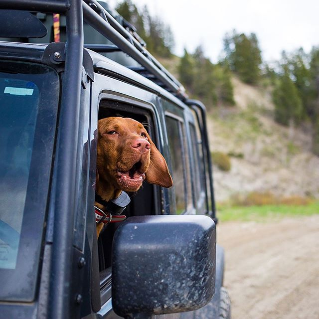 "I am counting down to the launch of MONDAYS WITH MONTY on June 1st by sharing some of my favorite moments that inspired us to create this new website: www.mondayswithmonty.com 🐾 The ONLY cool thing about mom getting out of the Jeep without me (how dare she?!?) - I could pretend to be the driver!!! 🐾 We crafted a limited time offer for my friends, family, and #truefans to become LIFETIME Founding Members for a one-time charge of $50. Our business plan covers the next ten years, so we are in this for the long-haul! #travelwithmonty #adventurewithmonty #createwithmonty 🐾 Learn more and become a member via the link in profile! Founding Members begin receiving content the first Monday after the day they join, in addition to a ""Jeep Load"" of other perks (almost said boat-load, but we are ALL about the Jeeps here!) 🐾 #dogtravel #vizsladog #travelwebsite #petphotography #outdoordog #jeepdog #explorewithdogs #dogadventures #jeepadventure #somethingtosay"