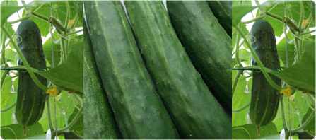 cucumberweb.jpg
