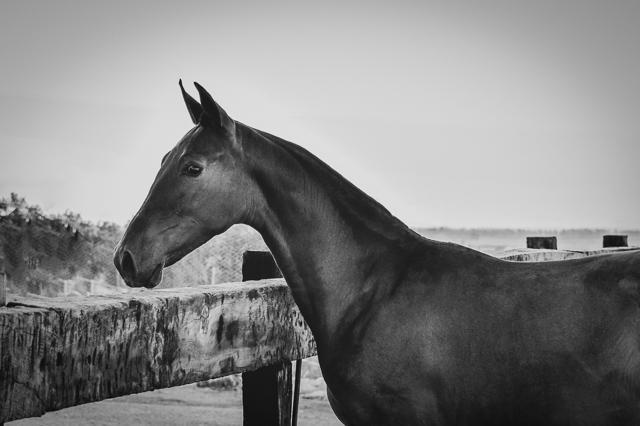 Electra Real (Veterano VI x Gramola), PRE Andalusian mare born 2018, Yeguada CavalReal
