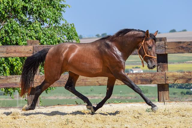 Bolero Real (Fer Bulería x Hechizo VG, Yeguada CavalReal)   Bay PRE Andalusian Stallion born 2014