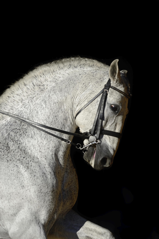 purebred spanish horse pura raza espanola andalusian horse information