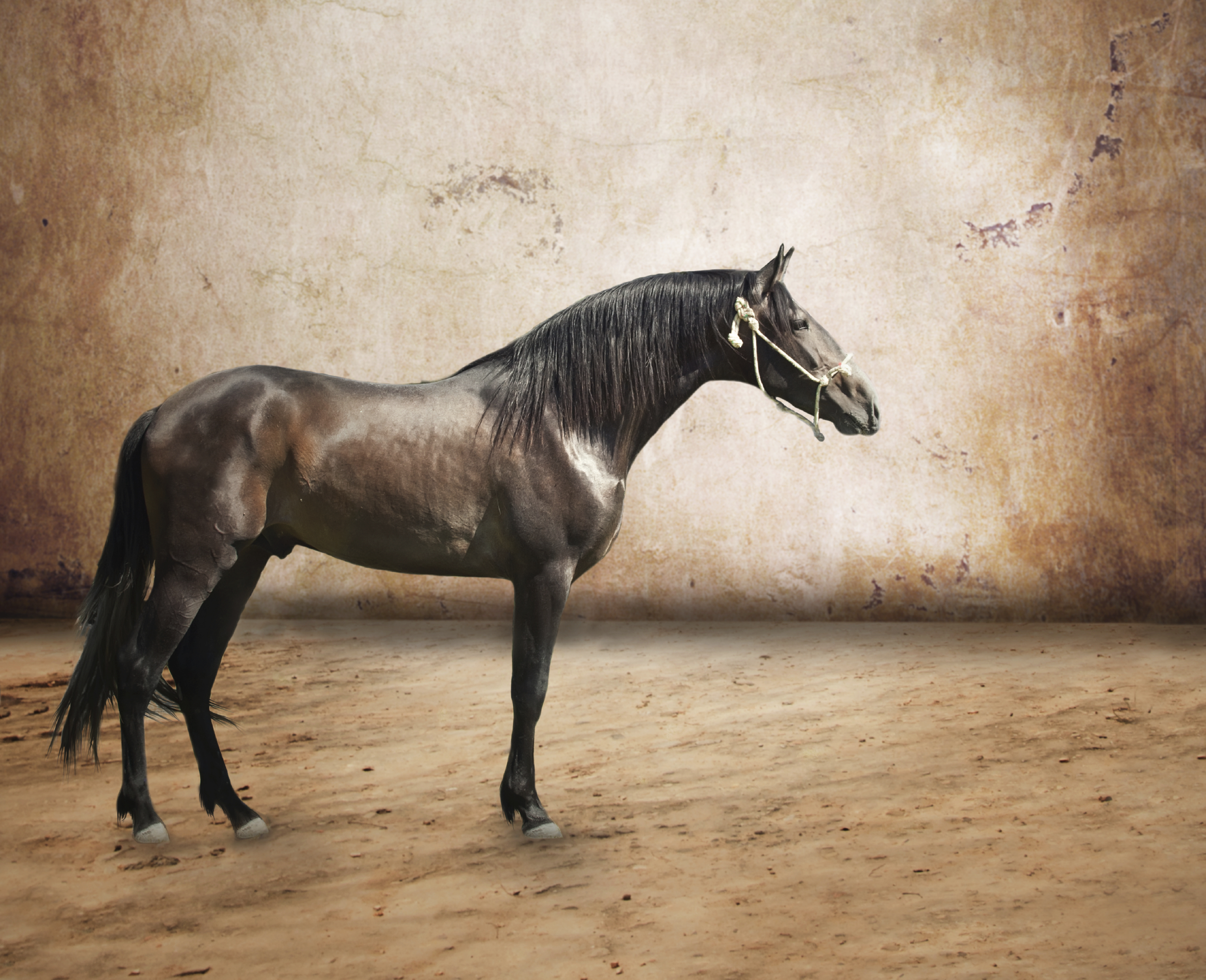 purebred-spanish-horse-andalusian-pre-information
