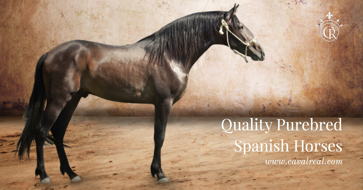 pre-andalusian-spanish-horses-information-website
