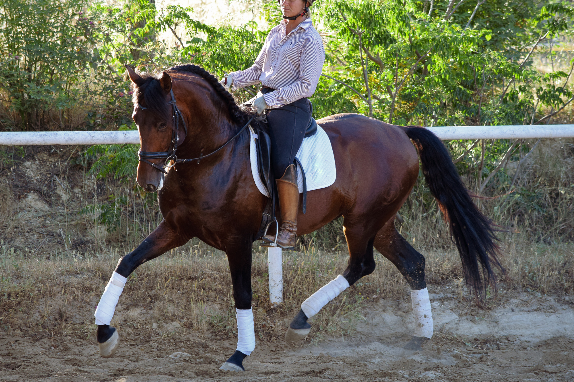 Purebred Spanish Horses Young Horse Evaluation PRE Andalusian Stallion.jpg