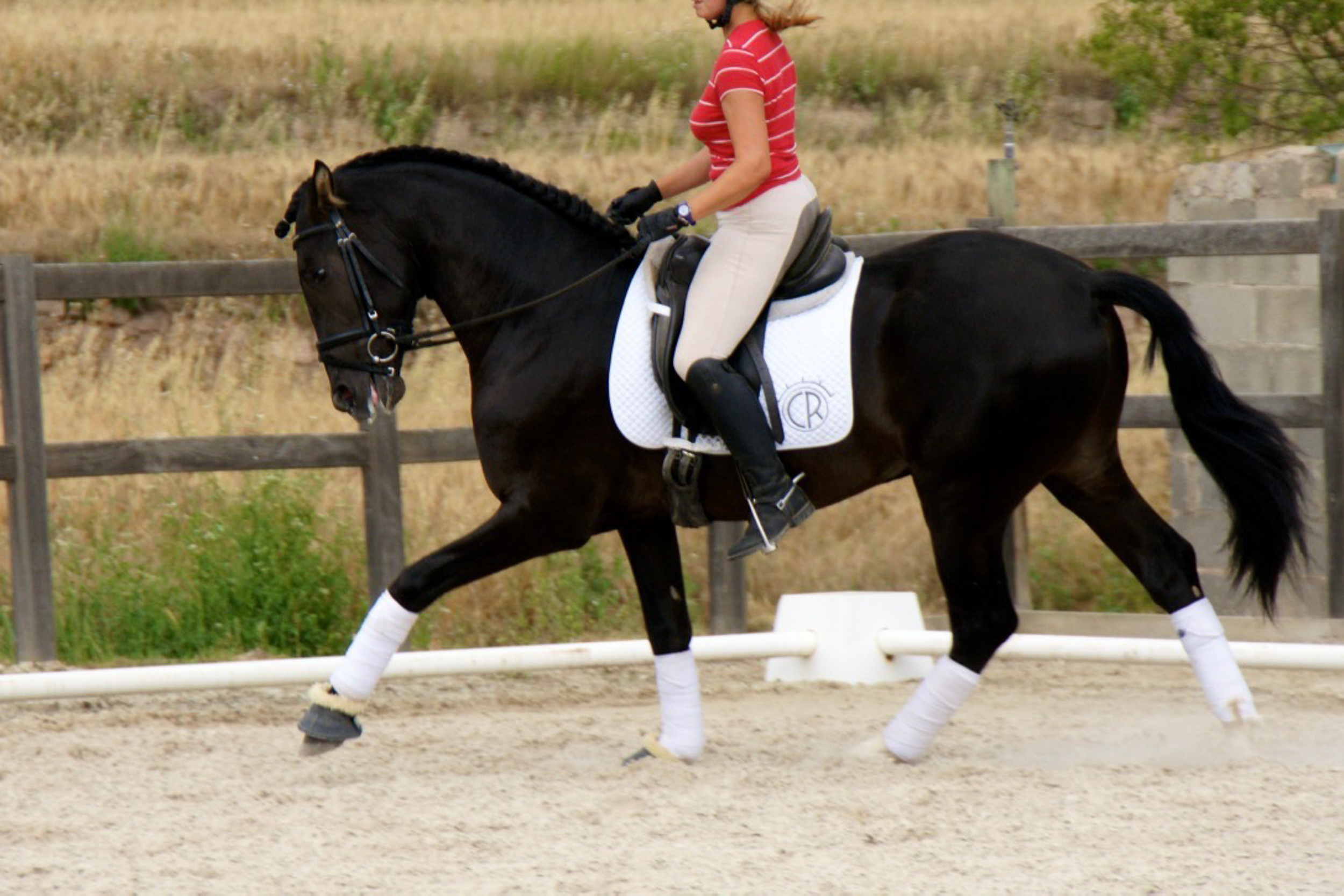 pre-andalusian-young-horse-training-spain