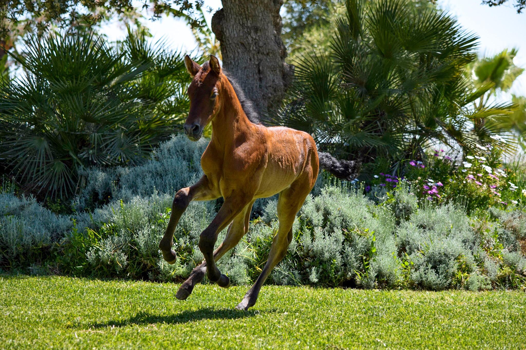 pre-andalusian-foal-dressage.jpeg