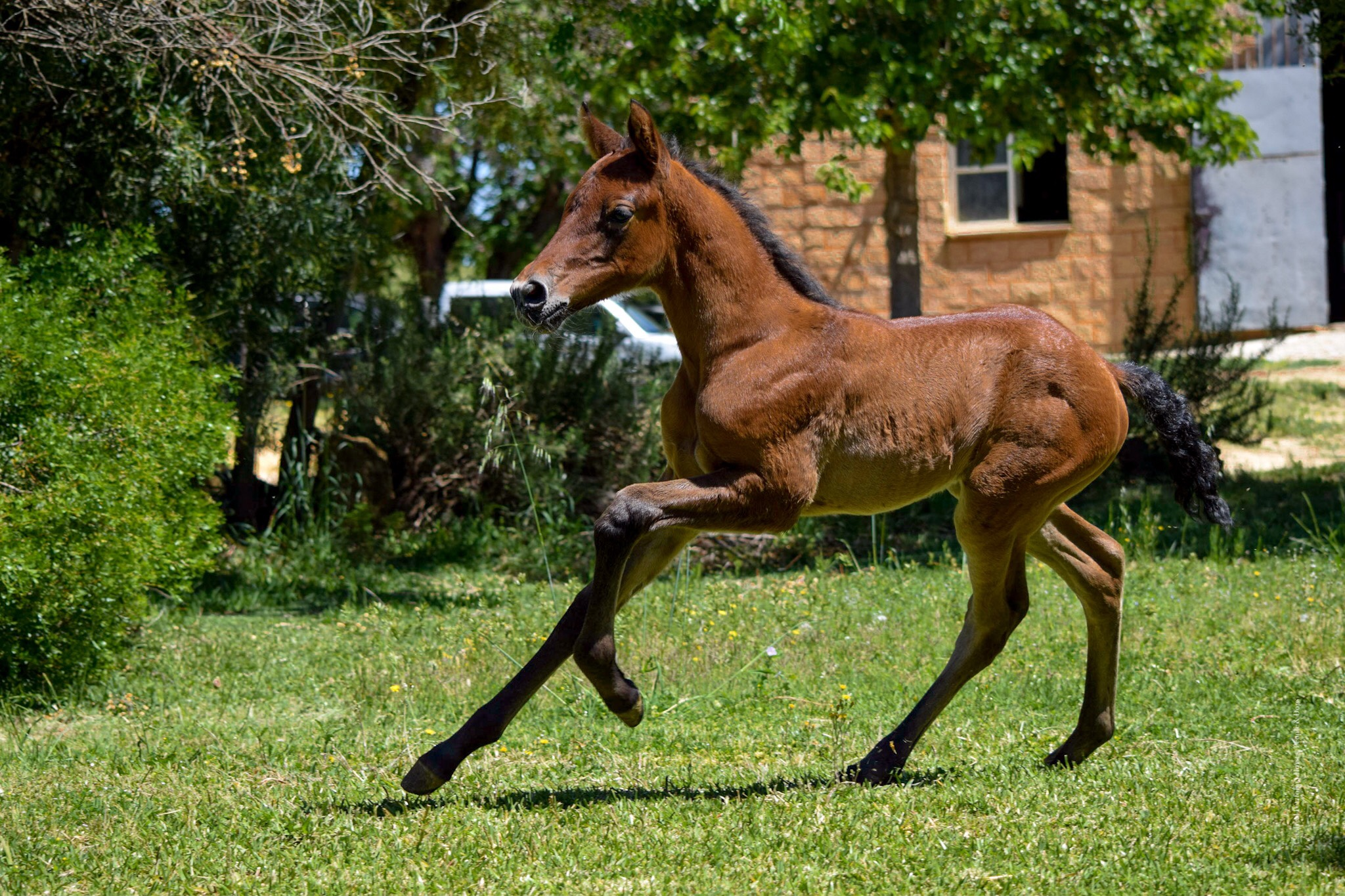 pre-andalusian-foal-dressage-canter.jpeg