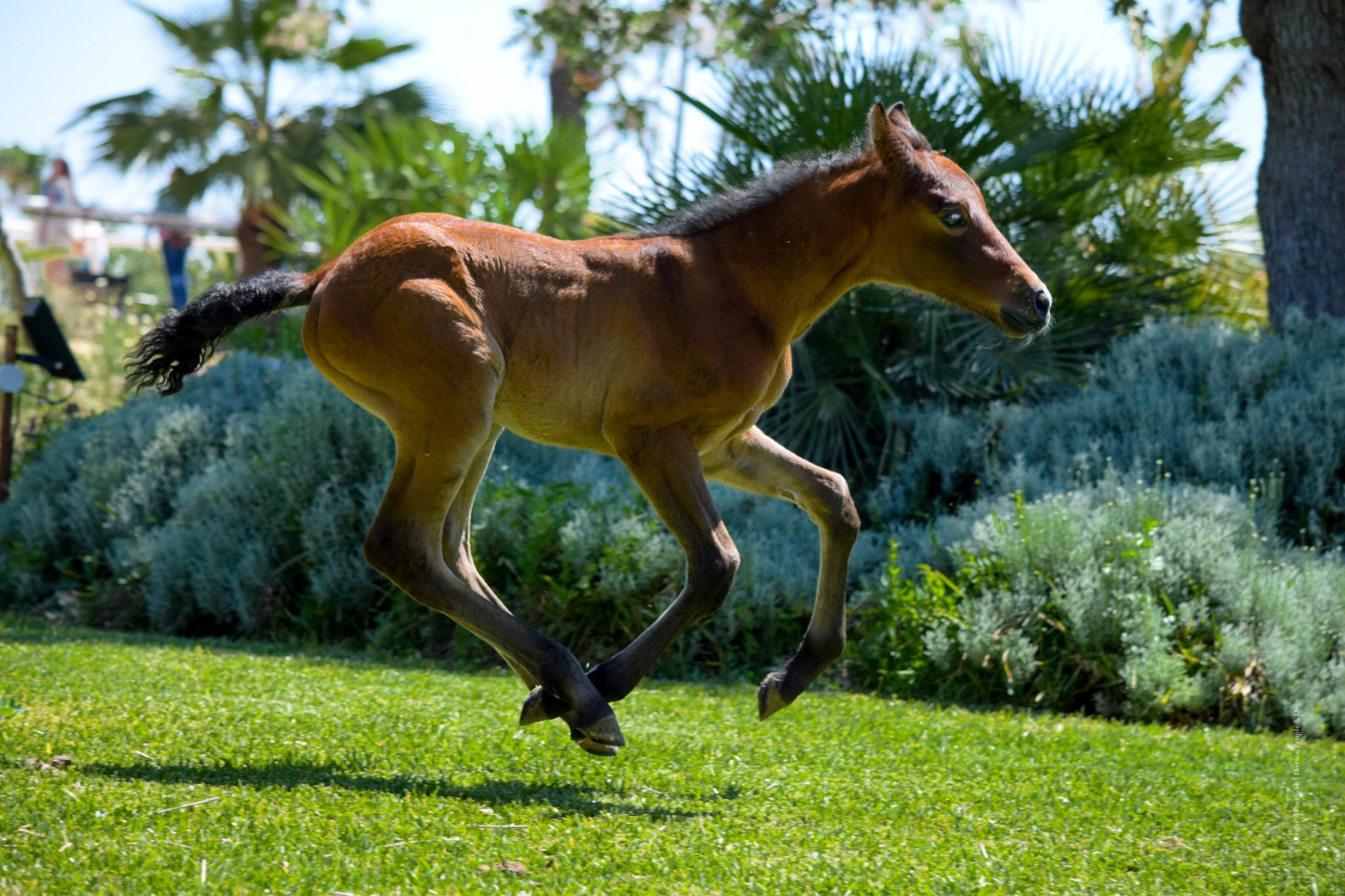 pre-andalusian-foal-dressage-atiza-ii.jpeg
