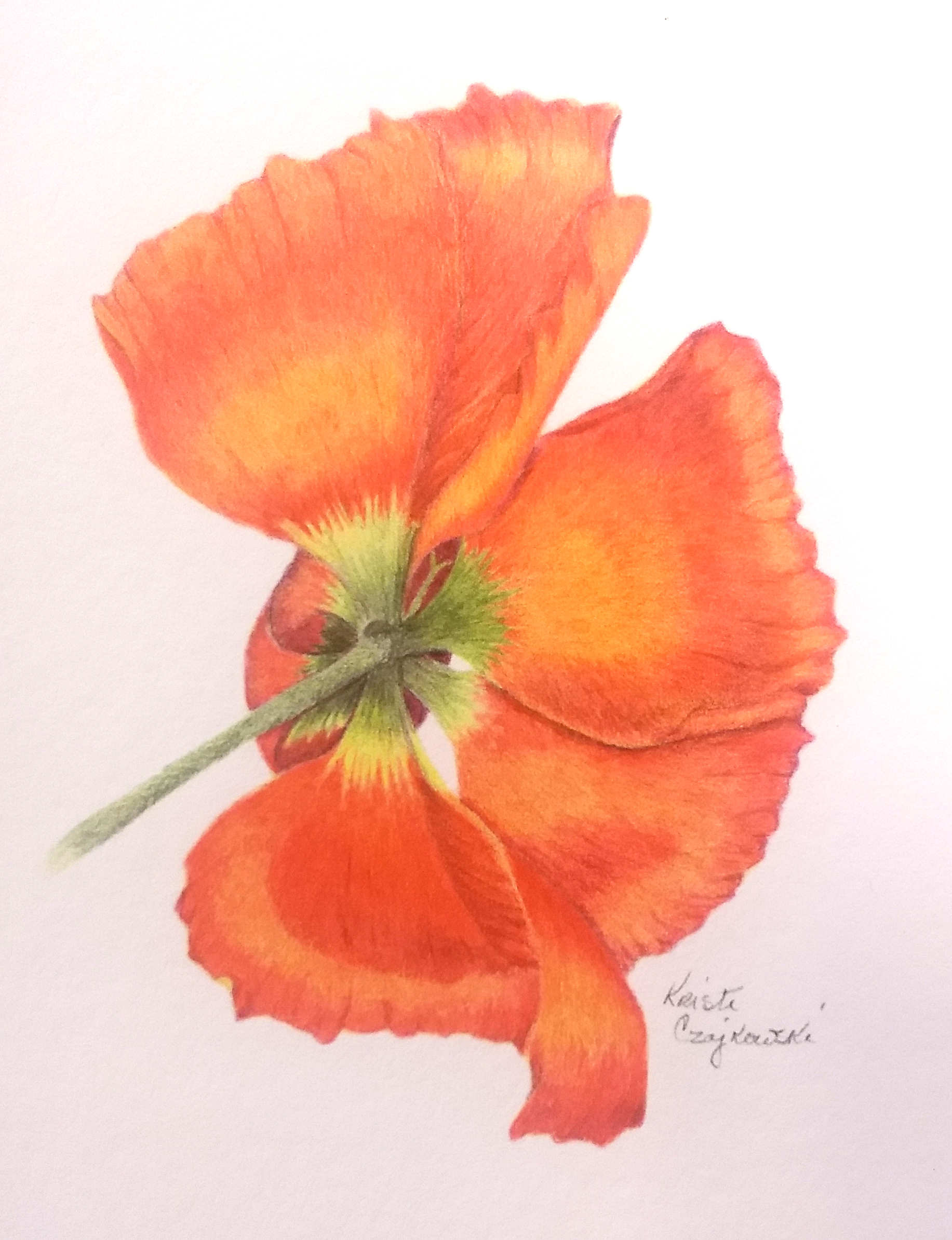 """Kristi Czajkowski - Graduate of School of Botanical Art and Illustration at Denver Botanic Gardens. """"I am fascinated by the juxtaposition of art and science. When drawing botanical art there is a good deal of research before pencil hits paper."""" She is also our President."""