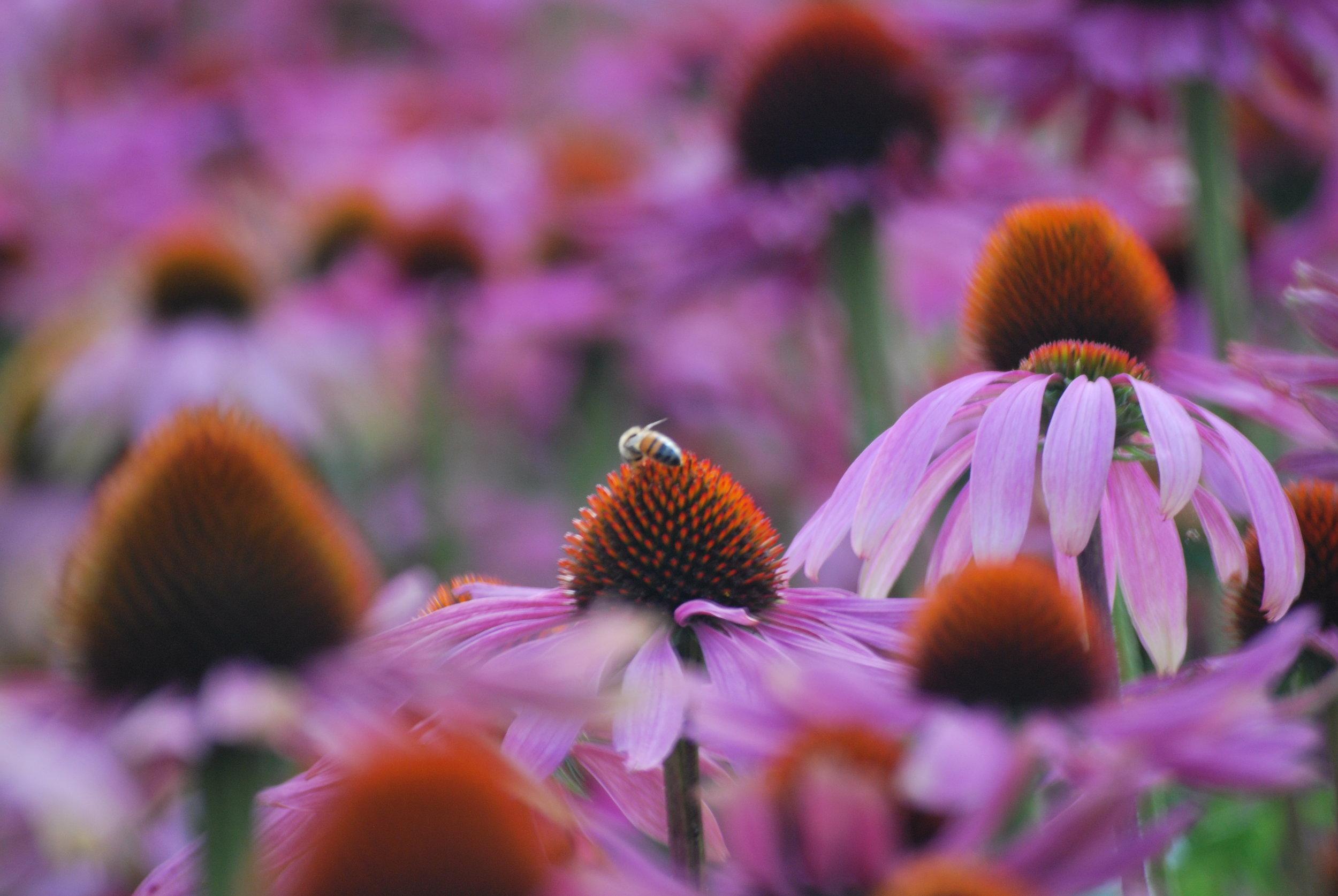 Herbal remedy for immunity echinacea