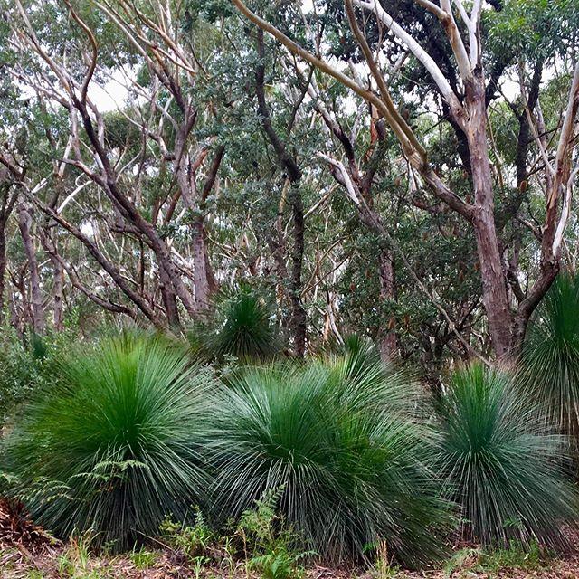 New growth after the bushfires #naturesgarden #australianbush #xanthorrhoea