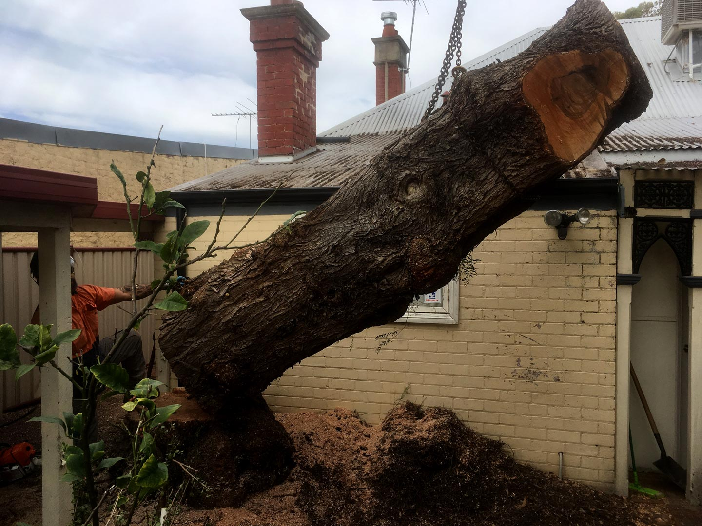 Salvaging a Peppercorn tree from a residents suburban property.