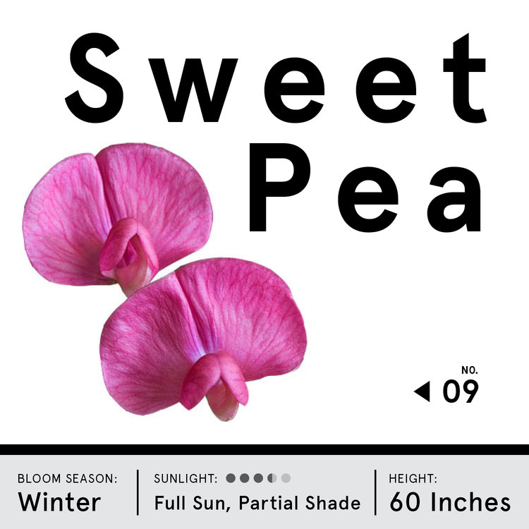sweet pea.jpg